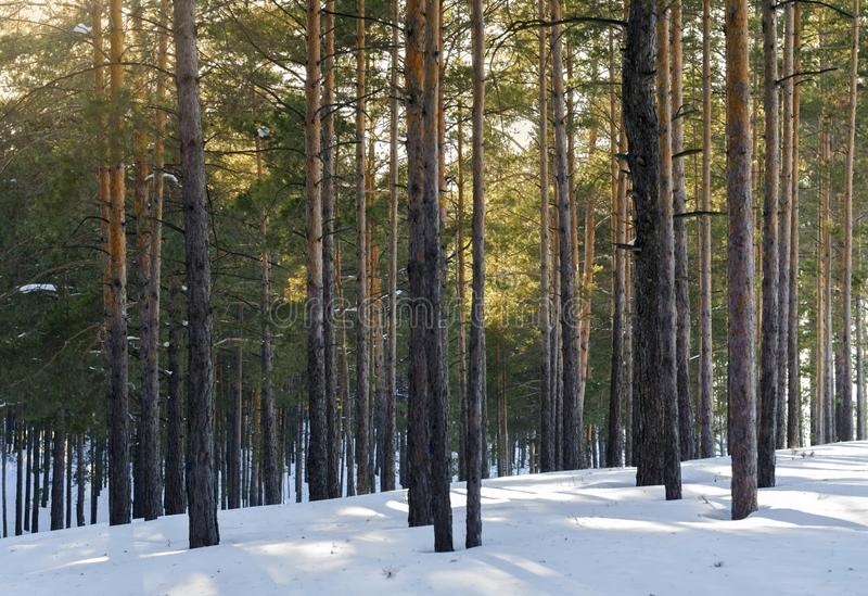 Pine Forest On A Sunny Day In Winter. Tree Shadows In The Snow stock photo
