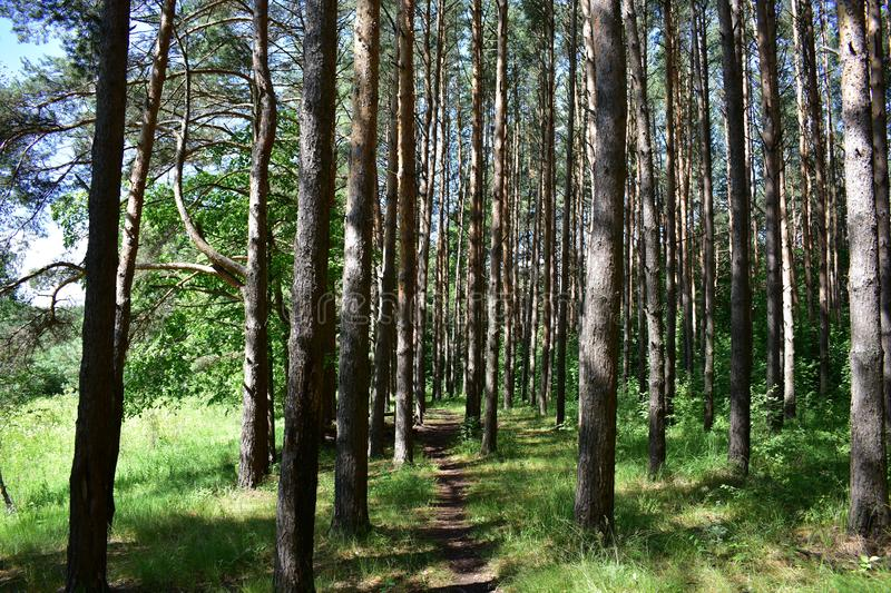 Pine forest is Sunny and light, Golden, because the branches of pine trees are high above the ground and do not intertwine branche. S, and long straight trunks royalty free stock images