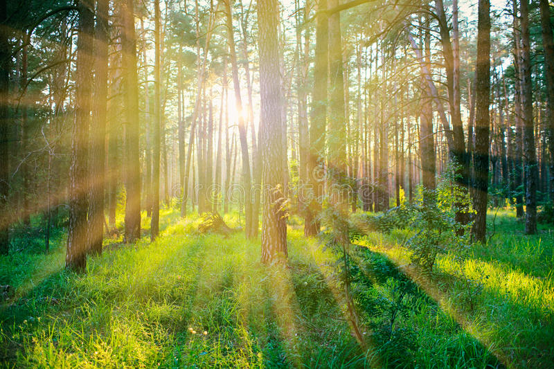 Pine forest on sunrise royalty free stock photography