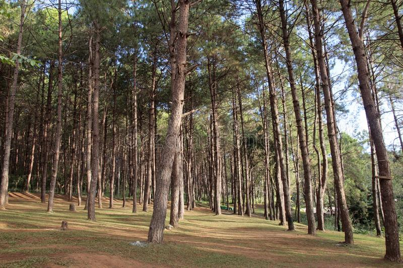 Download Pine Forest In Thailand Stock Photo - Image: 83702716