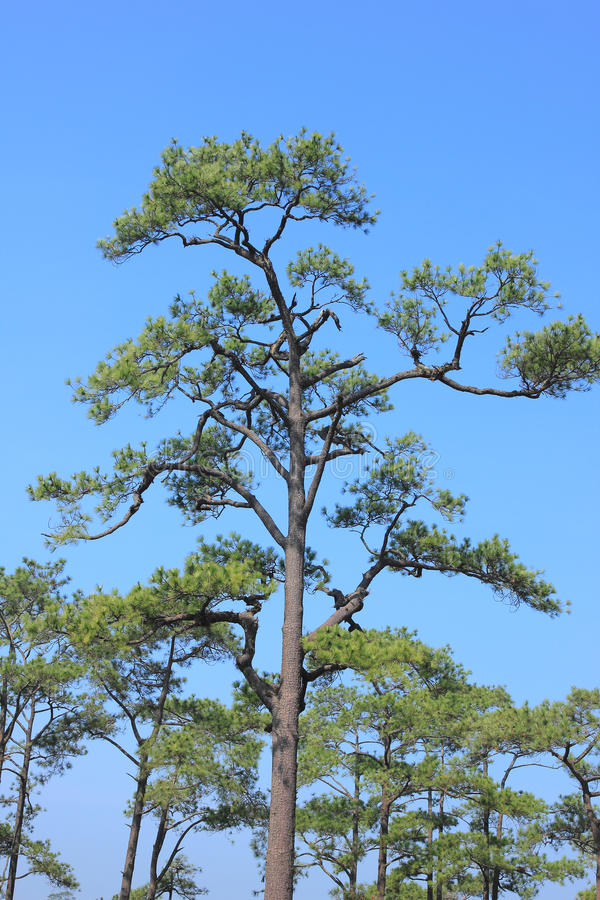 Pine Forest Under Blue Sky Royalty Free Stock Image