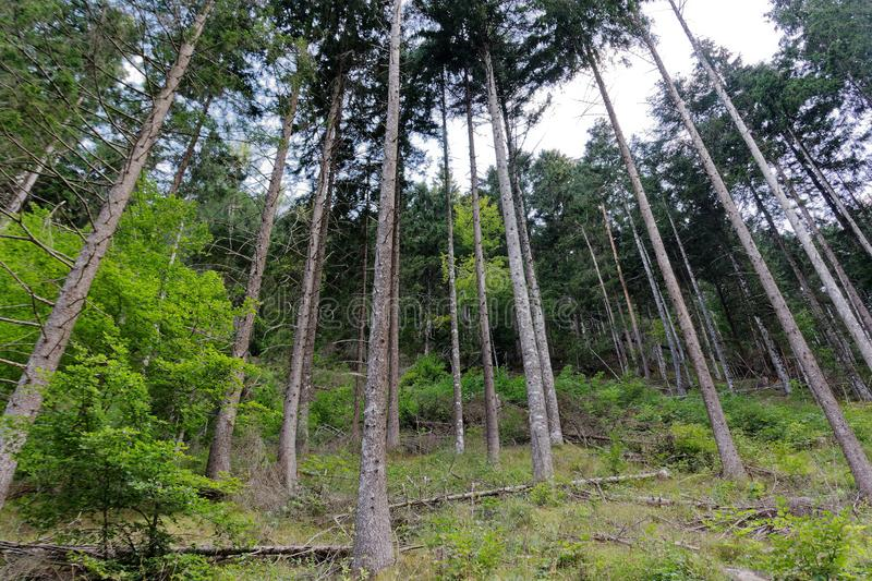 Pine forest. very tall trees from bottom to top stock photography