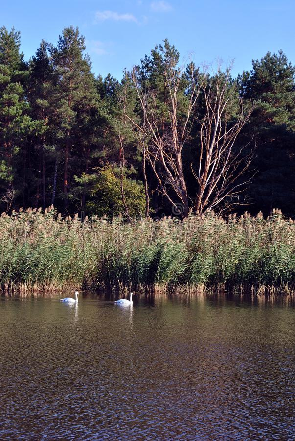 Pine forest and willows on the shore of the lake with two white swans, on a background of blue sky, sunny day royalty free stock images
