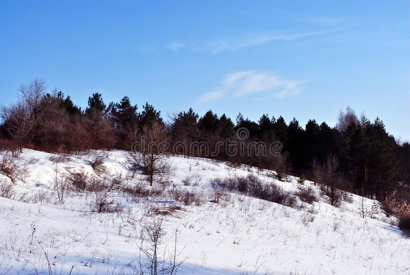Pine forest and willows on the snowy hill, background of blue sky, sunny winter day stock photography