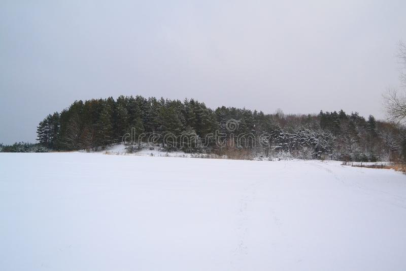 Pine forest, winter. Winter forrest scene. Cold season. Belarus winter landscape. Pine forest in winter. Winter forrest scene. Cold season. Belarus winter royalty free stock photos
