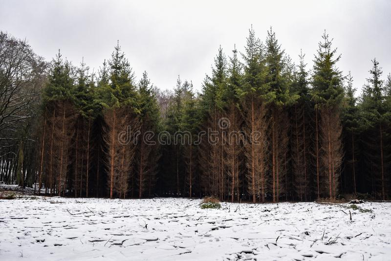 Pine forest in winter, landscape of brown-green trees.  stock images