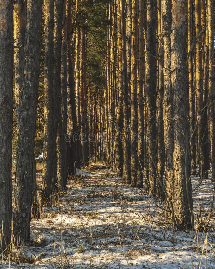 Pine forest in winter. The sun shines through the trees. Snow covered glade. Sun rays. Beautiful nature. Russia stock image