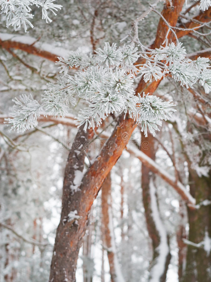Pine forest on winter time stock photo