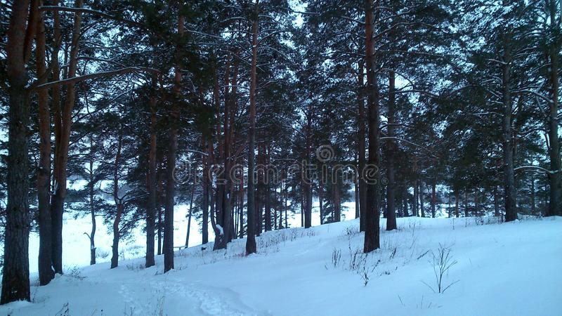 Pine forest in winter, a very beautiful sight for connoisseurs royalty free stock photo
