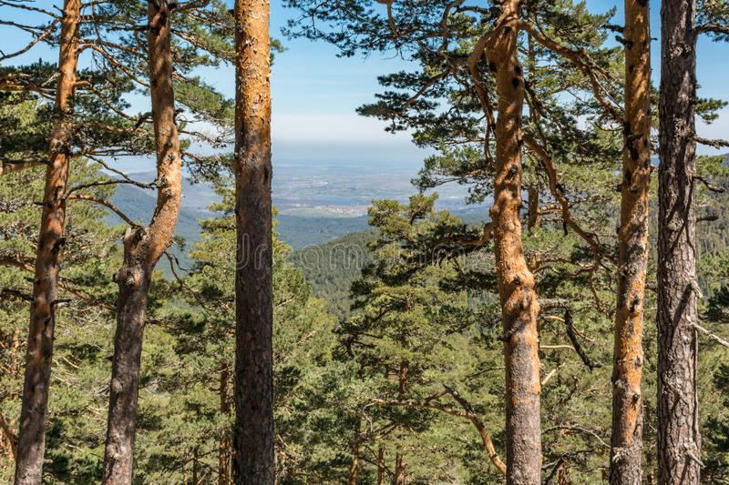 Pine forests of the Sierra de Guadarrama in Segovia and Madrid Spain.  royalty free stock photography