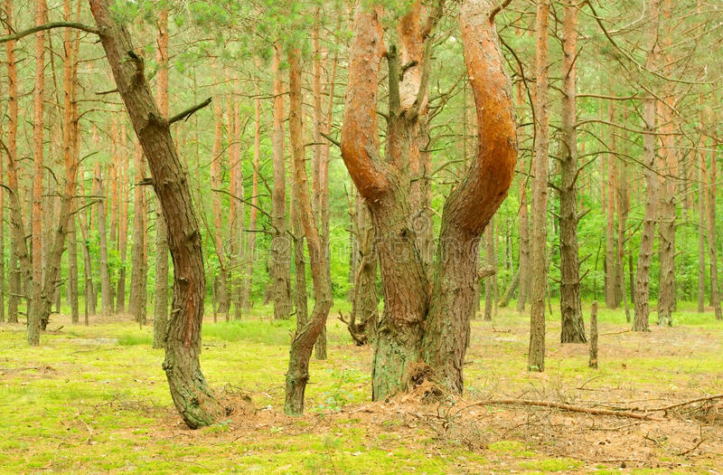 Download The Pine Of The Freakish Form Stock Image - Image: 32058173