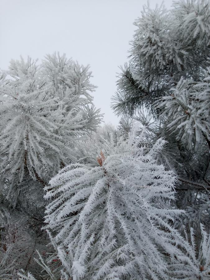 Frost on pine. Pine frost winter weather nature of the plant time of the year beautiful tree snow fluffy stock images
