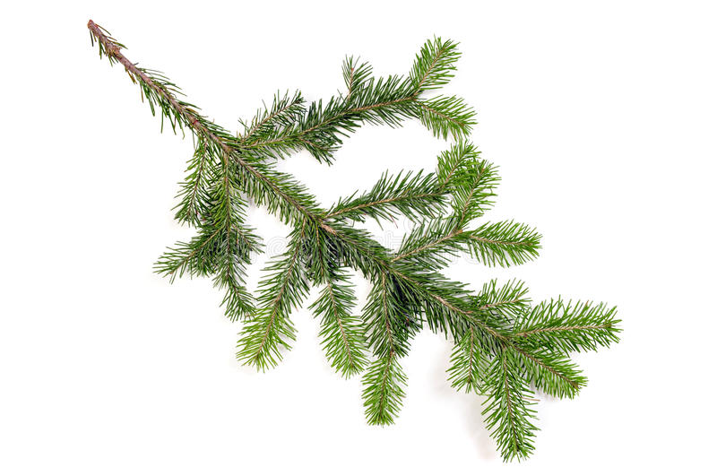 Pine fur tree branch stock photography