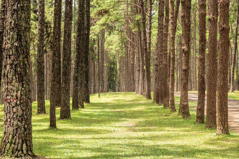 pine garden or pine forest at Chiang Mai Province in Thailand. royalty free stock photos