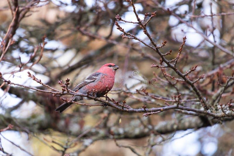 Pine Grosbeak bird. Pine Grosbeak in Burnaby Mountain Park royalty free stock photo