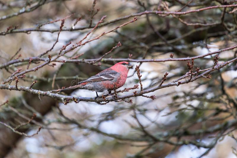 Pine Grosbeak bird. Pine Grosbeak in Burnaby Mountain Park royalty free stock photography