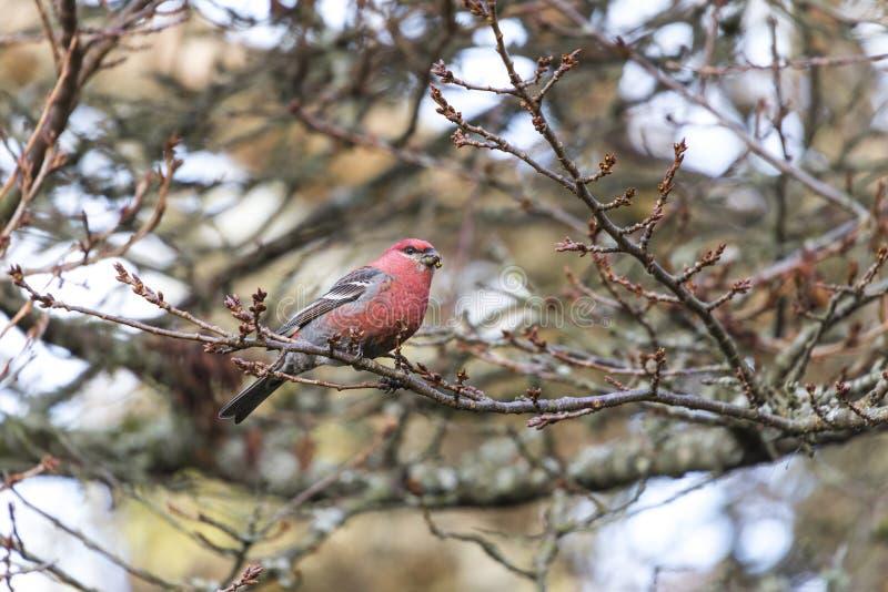 Pine Grosbeak bird. Pine Grosbeak in Burnaby Mountain Park stock image