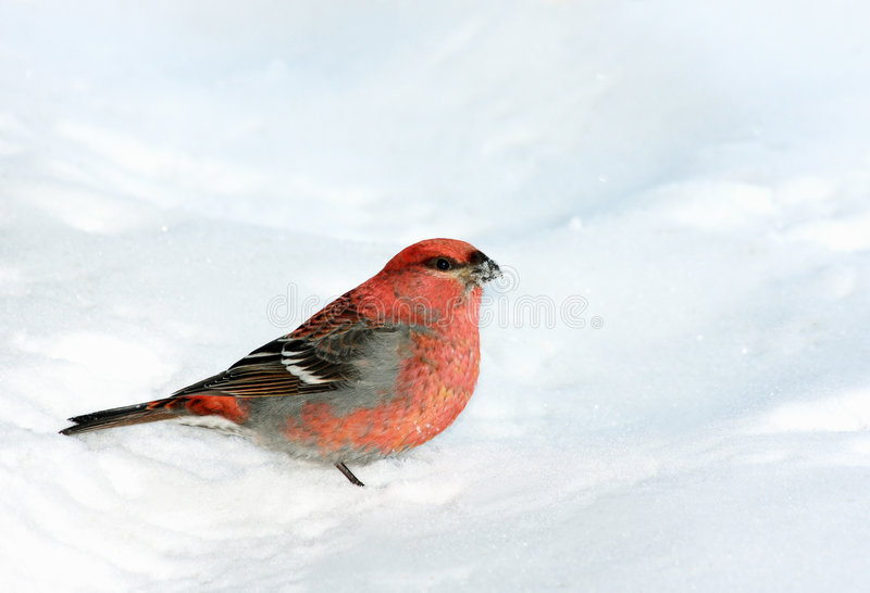 Pine Grosbeak in the snow. This is a Pine Grosbeak bird male on a snow background. Its beak is covered with snow stock photos