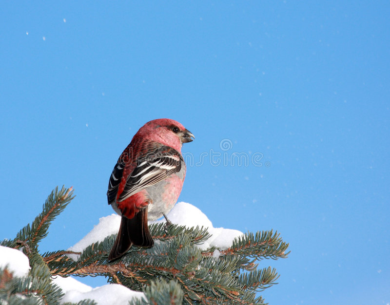 Pine Grosbeak in winter. This is a Pine Grosbeak male photographed in a Spruce tree in winter. The background is a bright blue sky. Some snowflakes in the wind stock image