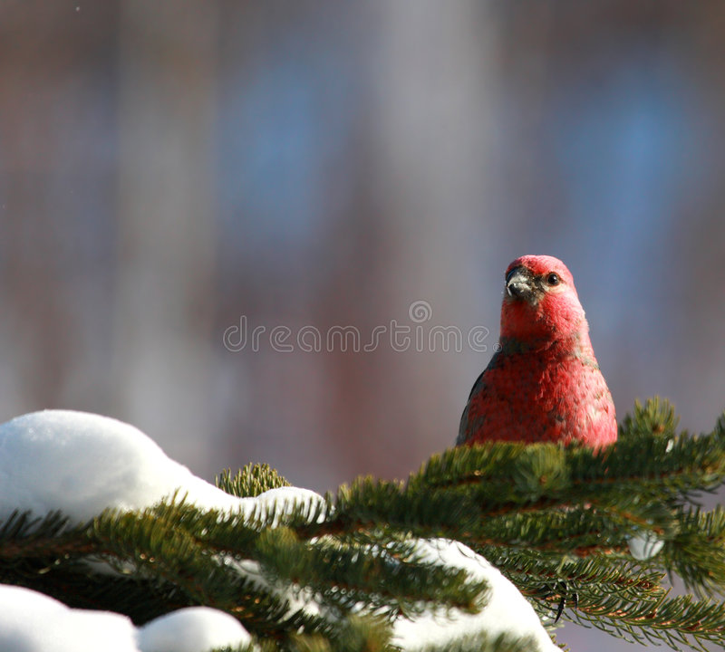 Pine Grosbeak in winter. Pine Grosbeak male photograph in a spruce tree in winter. Background is natural blue ans pink colors royalty free stock photos