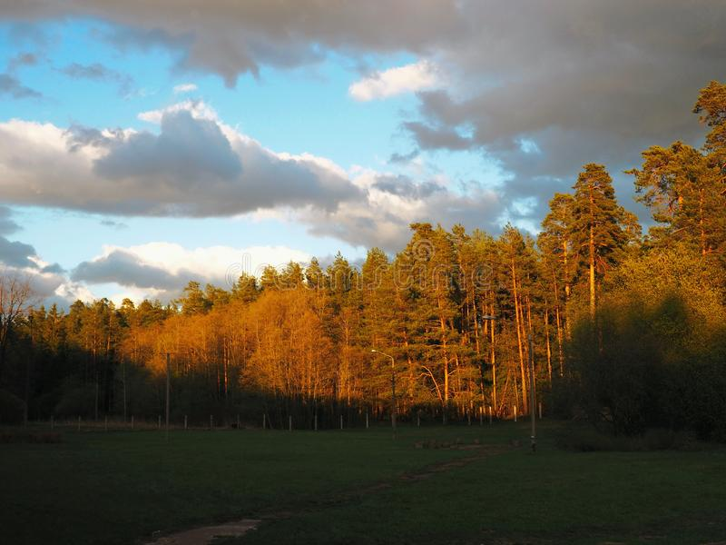 Pine grove on the sunset. The border of light and dark. Forest edge in the evening. Selective focus stock photos