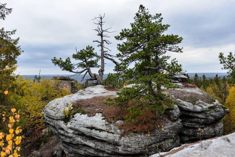 Pine growing on the rocks stock image