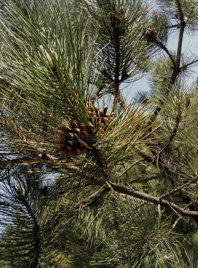 Pine and her lump. Pine spread its branches in the forest, among the same pines stock photography