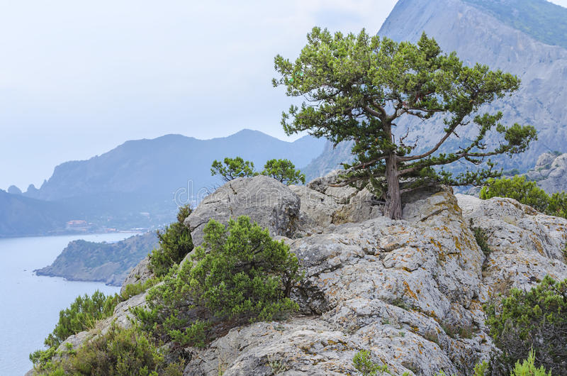 Pine high on a mountain. Over a cliff royalty free stock image