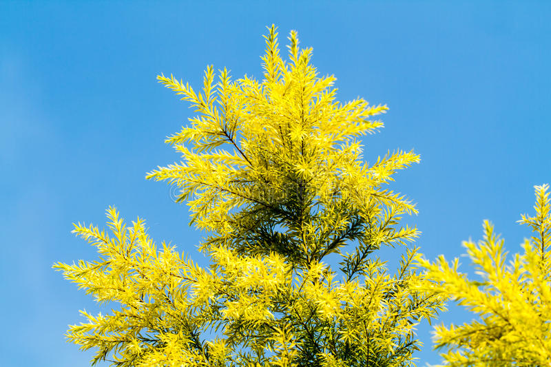 Pine Leaf Blue Sky royalty free stock images