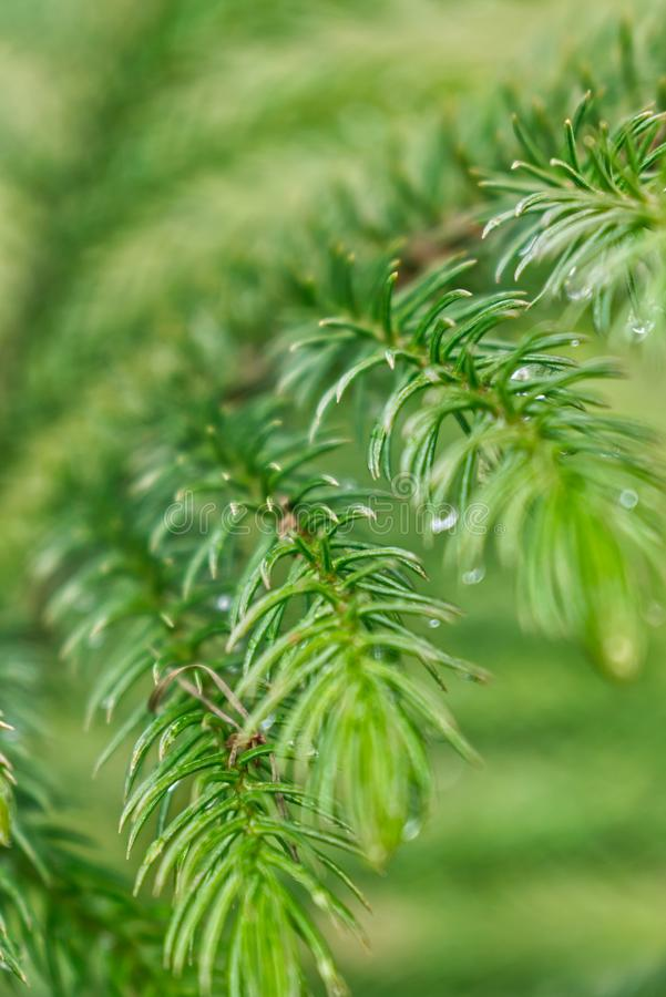 Pine leaves close up royalty free stock photo