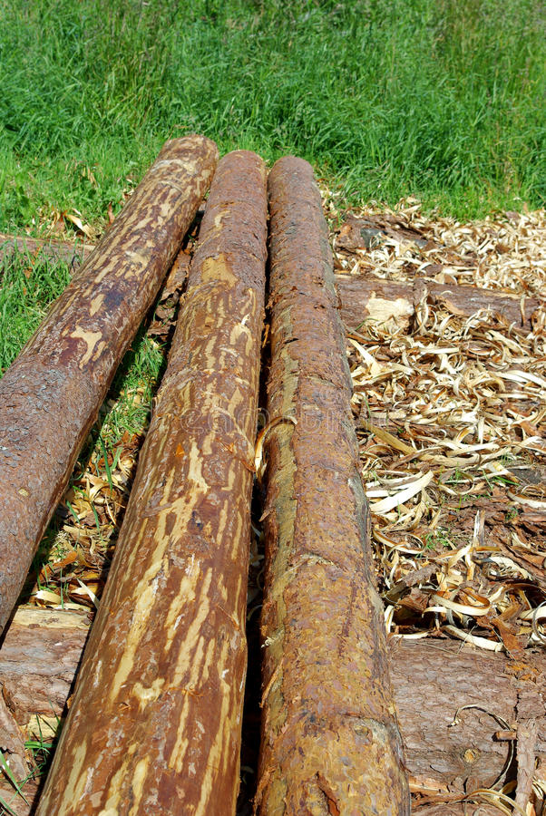 Pine logs. The background withe pine logs stock images