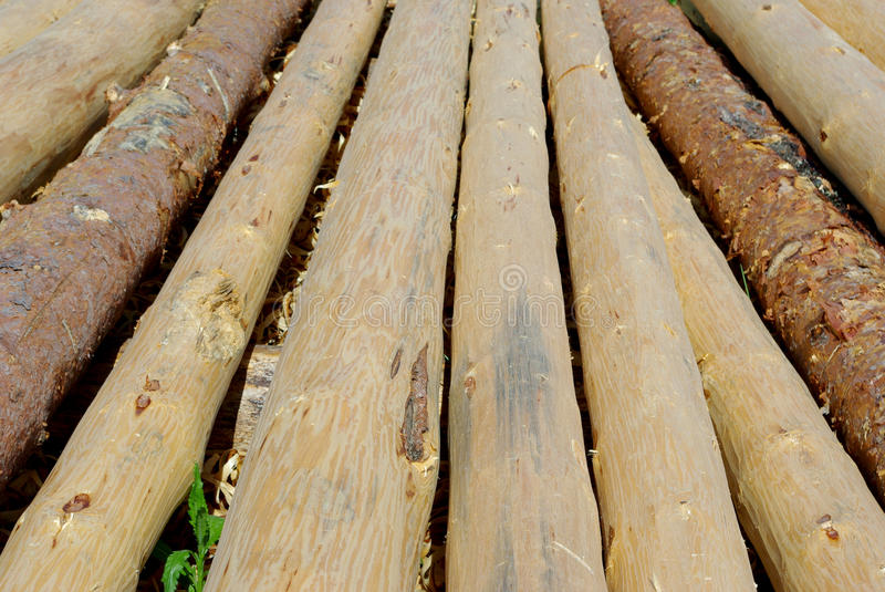 Pine logs. The background withe pine logs stock photo