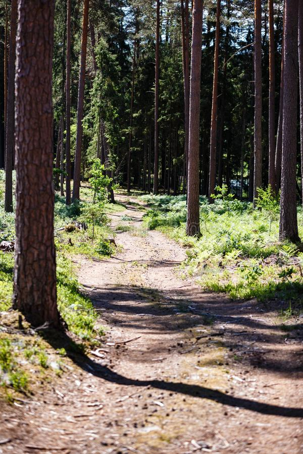 Pine long trunks and winding road royalty free stock images
