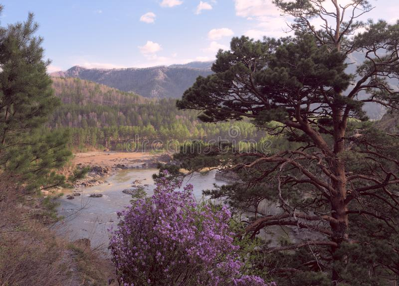 Pine and maralnik in the Altai mountains. Branched pine, rose maralnik Bush, Katun bend, banks overgrown with trees, mountains covered with forest in the stock photos