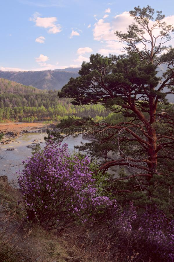 Pine and maralnik in the Altai mountains - vertically. Branched pine, rose maralnik Bush, Katun bend, banks overgrown with trees, mountains covered with forest royalty free stock image