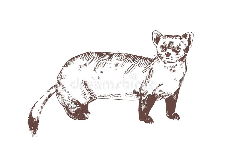 Pine marten hand drawn with contour lines on white background. Elegant detailed drawing of carnivorous animal. Wild vector illustration