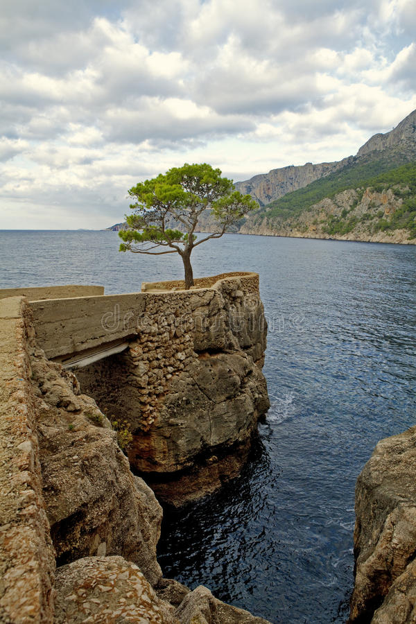 Pine near the sea. Pine growing on the sea, sea landscape royalty free stock photography