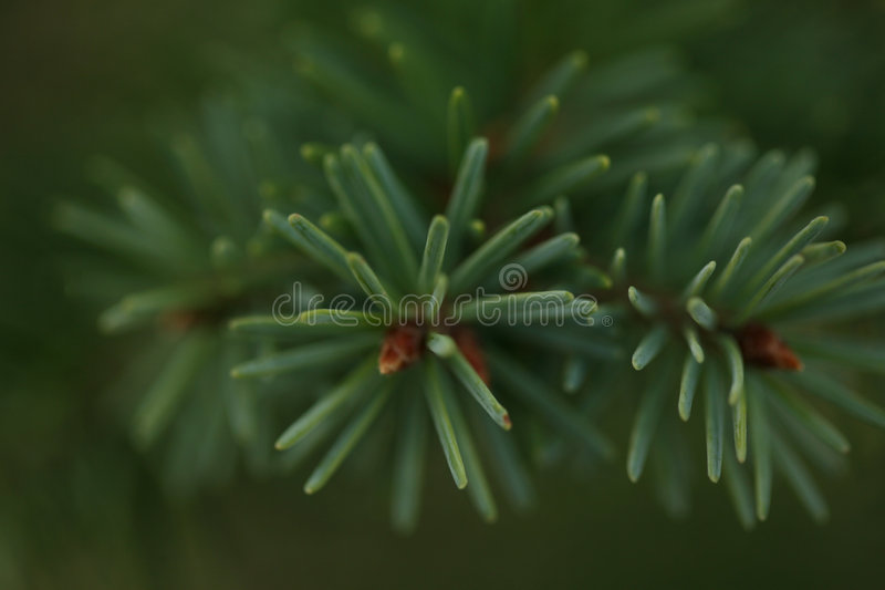 Pine needle branch stock photo