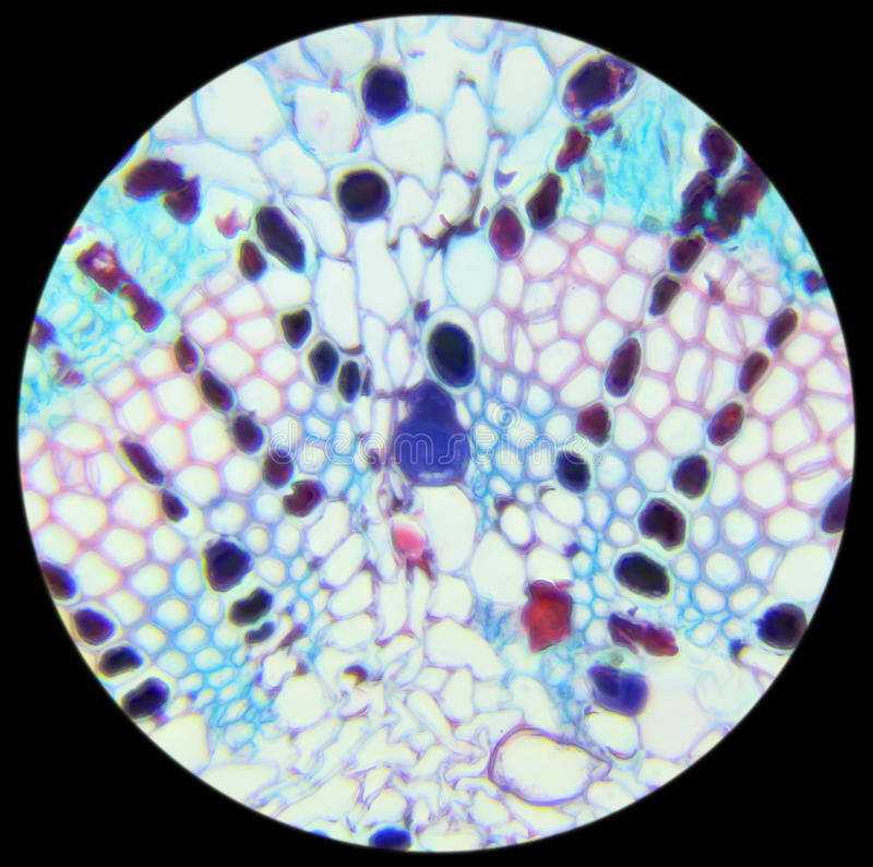 Pine needle cross-section under the microscope, background. (Pinus royalty free stock images