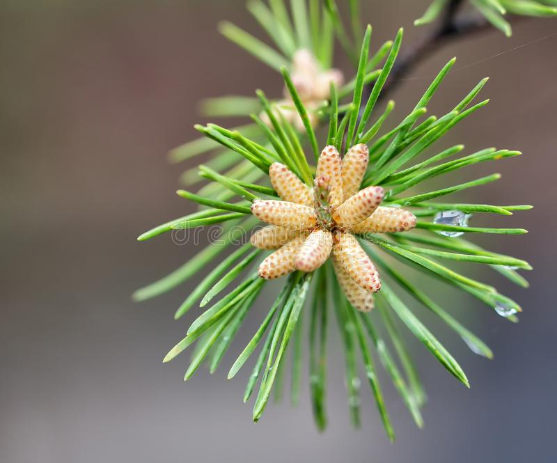 Pine needle pod blooming stock image
