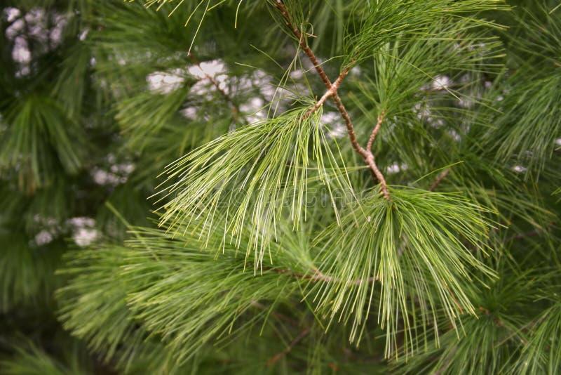Pine needles stock images