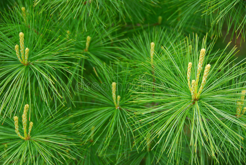Pine needles royalty free stock photography