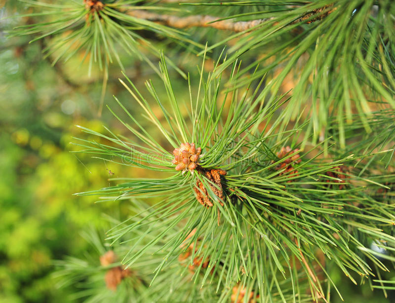 Download Pine Needles stock photo. Image of leaves, closeup, needles - 24885216
