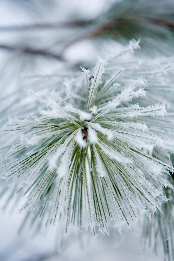 Free Pine Needles Stock Photo - 8718060