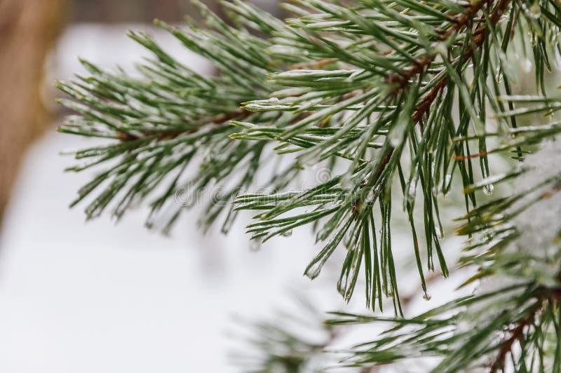 Download Pine needles stock photo. Image of hoarfrost, needles - 83714720
