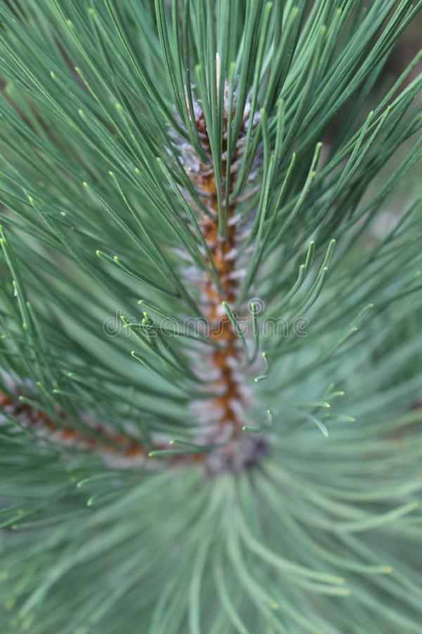 Pine Needles royalty free stock photography