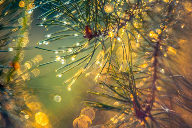 Pine needles closeup royalty free stock photos