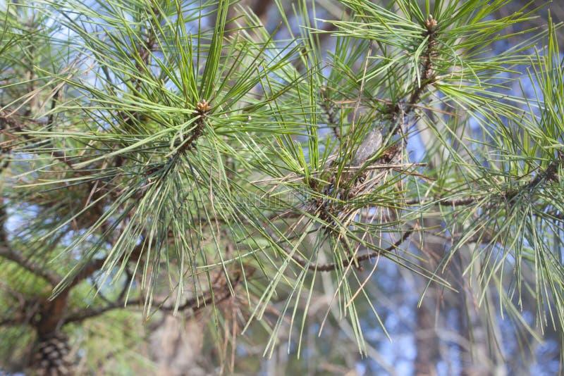 Download Pine Needles stock photo. Image of macro, branch, botany - 37178004