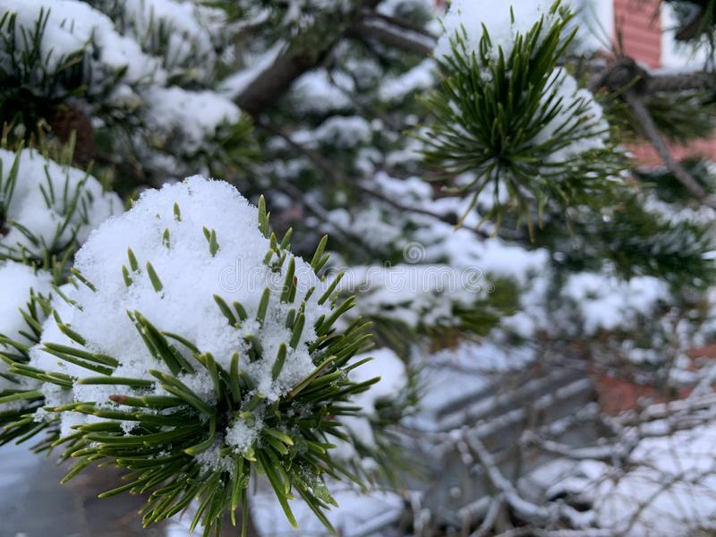 Pine needles covered in snow stock image