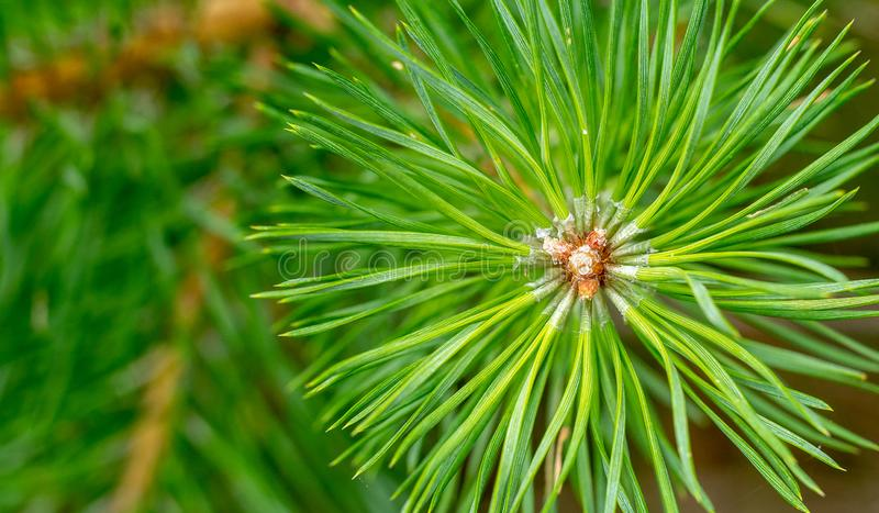 Pine needles diverge from the center. Pine needles close up. Pine, green sprig of pine royalty free stock photo
